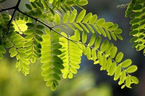Robinie Blätter
